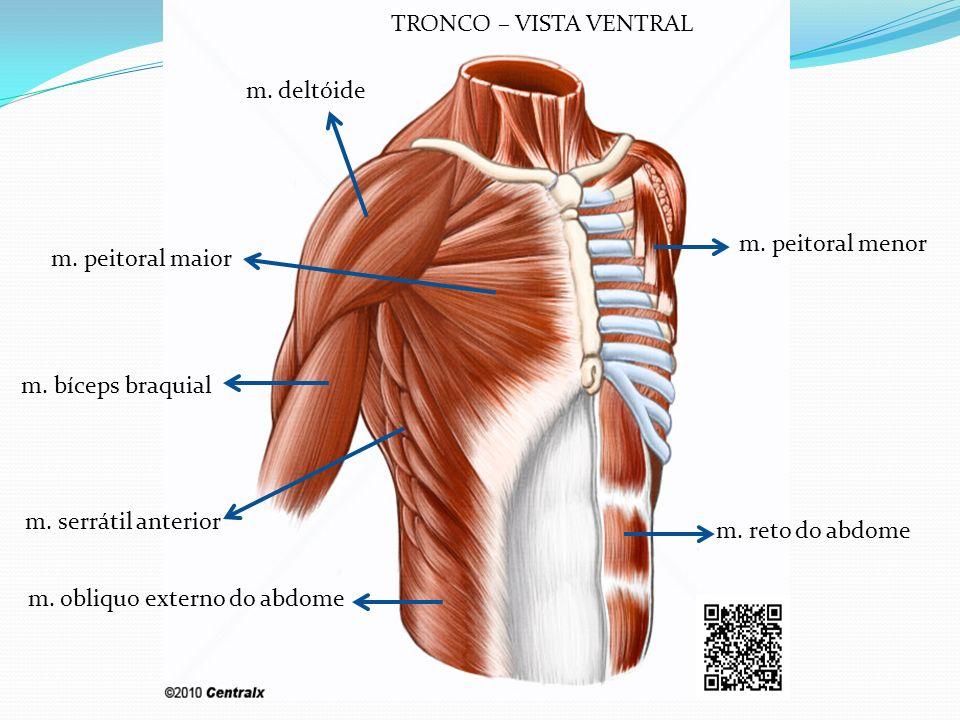TRONCO – VISTA VENTRAL m. deltóide. m. peitoral menor. m. peitoral maior. m. bíceps braquial. m. serrátil anterior.