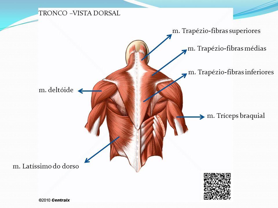 TRONCO –VISTA DORSAL m. Trapézio-fibras superiores. m. Trapézio-fibras médias. m. Trapézio-fibras inferiores.