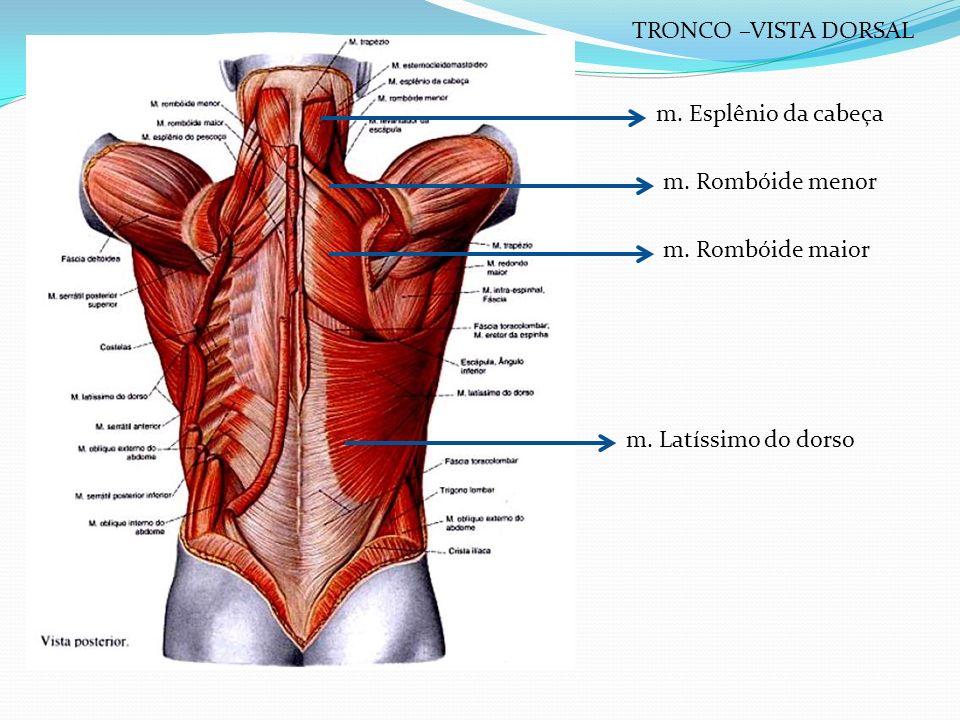 TRONCO –VISTA DORSAL m. Esplênio da cabeça. m. Rombóide menor.
