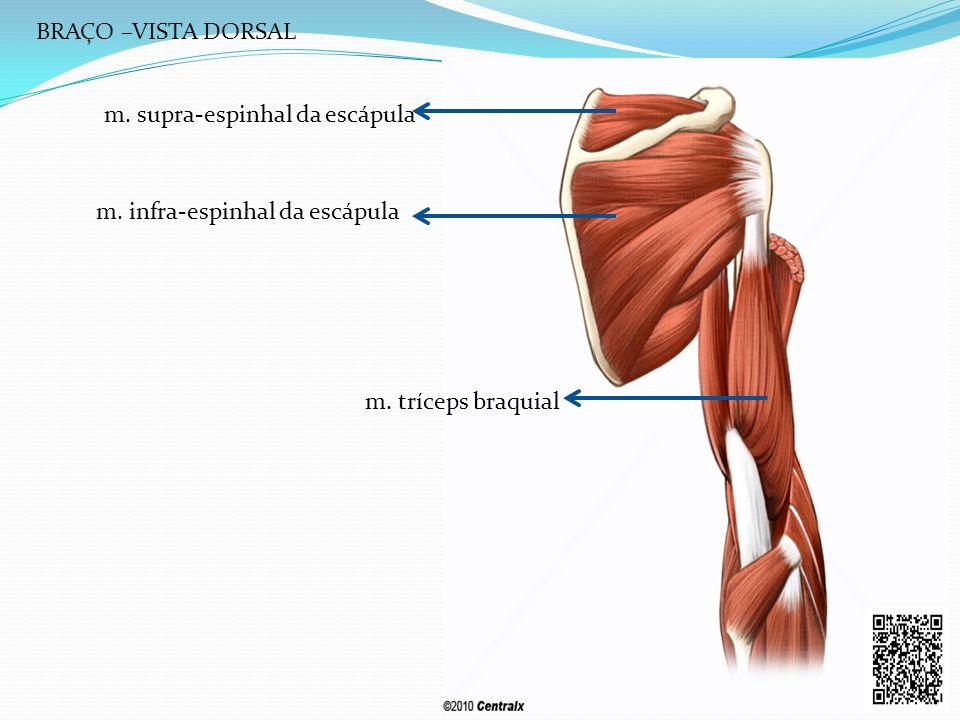 BRAÇO –VISTA DORSAL m. supra-espinhal da escápula m. infra-espinhal da escápula m. tríceps braquial