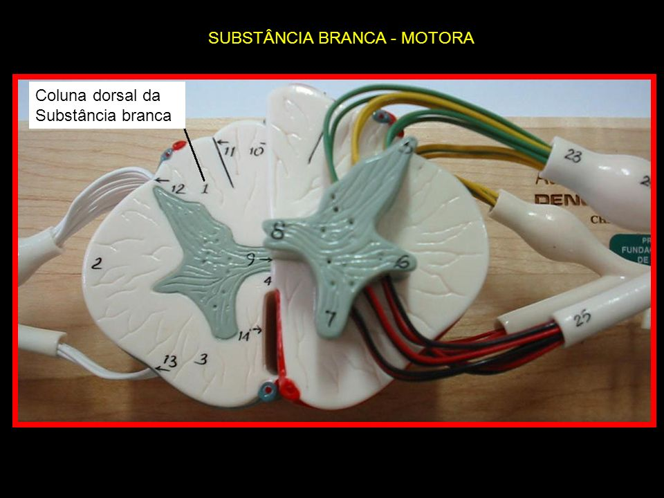 SUBSTÂNCIA BRANCA - MOTORA