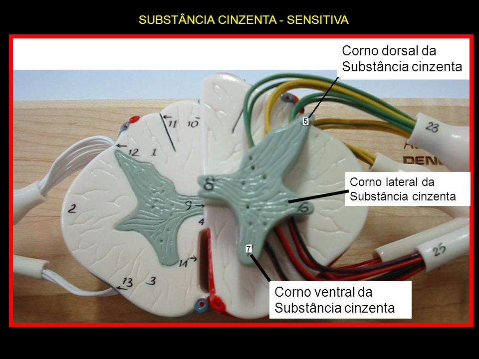 Corno dorsal da Substância cinzenta Corno ventral da