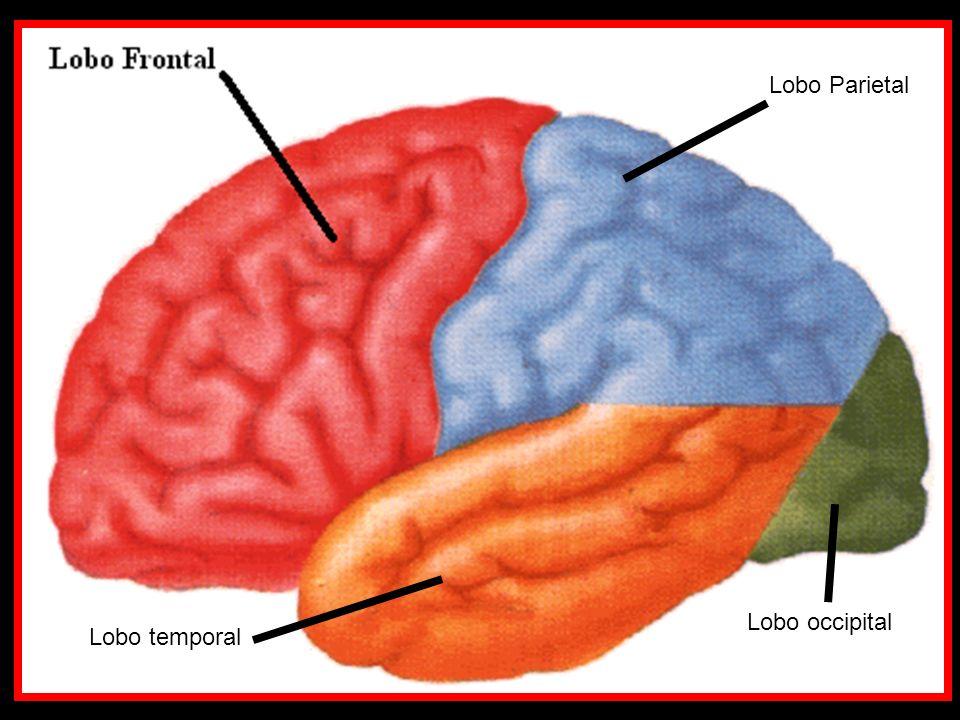 Lobo Parietal Lobo occipital Lobo temporal