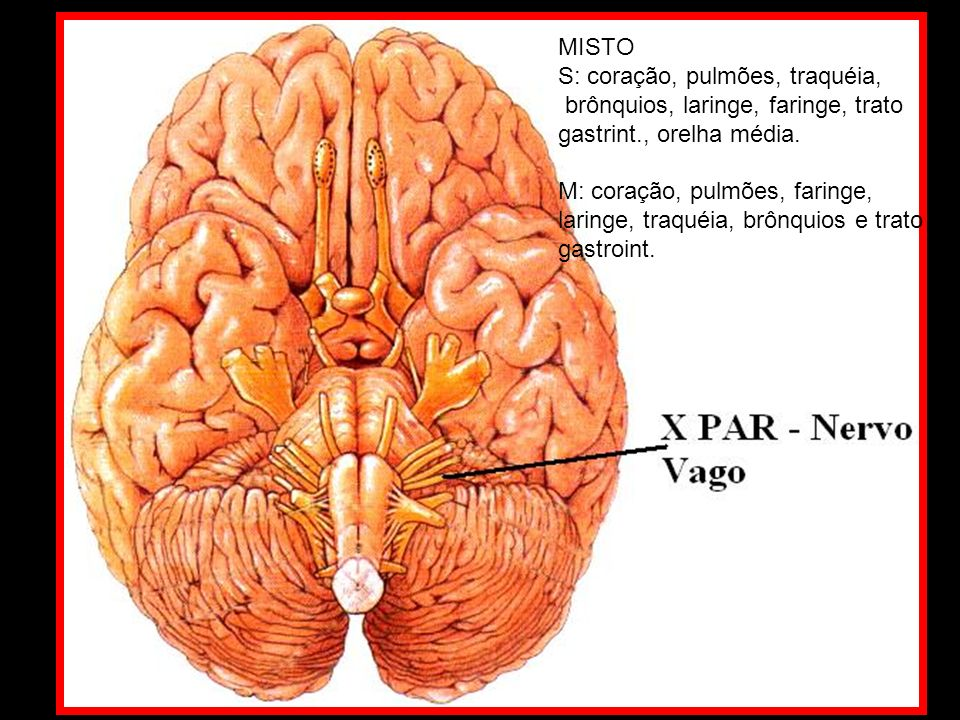 MISTO S: coração, pulmões, traquéia, brônquios, laringe, faringe, trato. gastrint., orelha média.