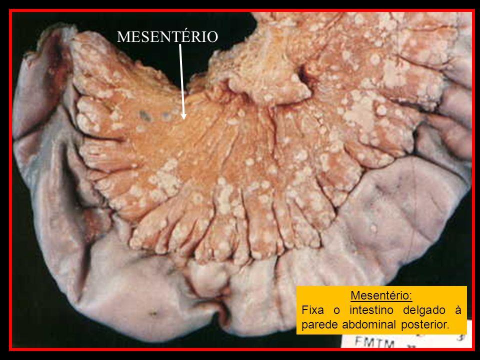 MESENTÉRIO Mesentério: