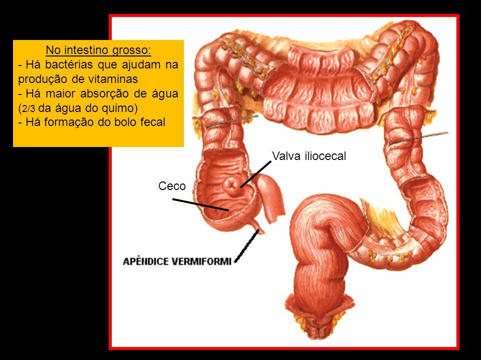 No intestino grosso: Há bactérias que ajudam na produção de vitaminas. Há maior absorção de água (2/3 da água do quimo)