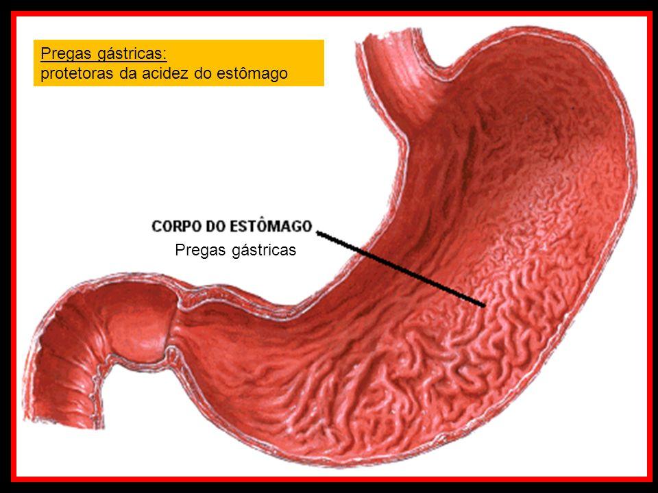 Pregas gástricas: protetoras da acidez do estômago Pregas gástricas
