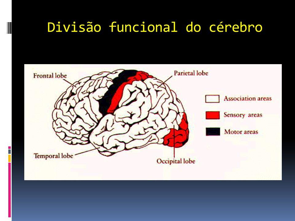 Divisão funcional do cérebro