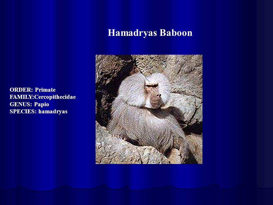 Hamadryas Baboon ORDER: Primate FAMILY:Cercopithecidae GENUS: Papio SPECIES: hamadryas