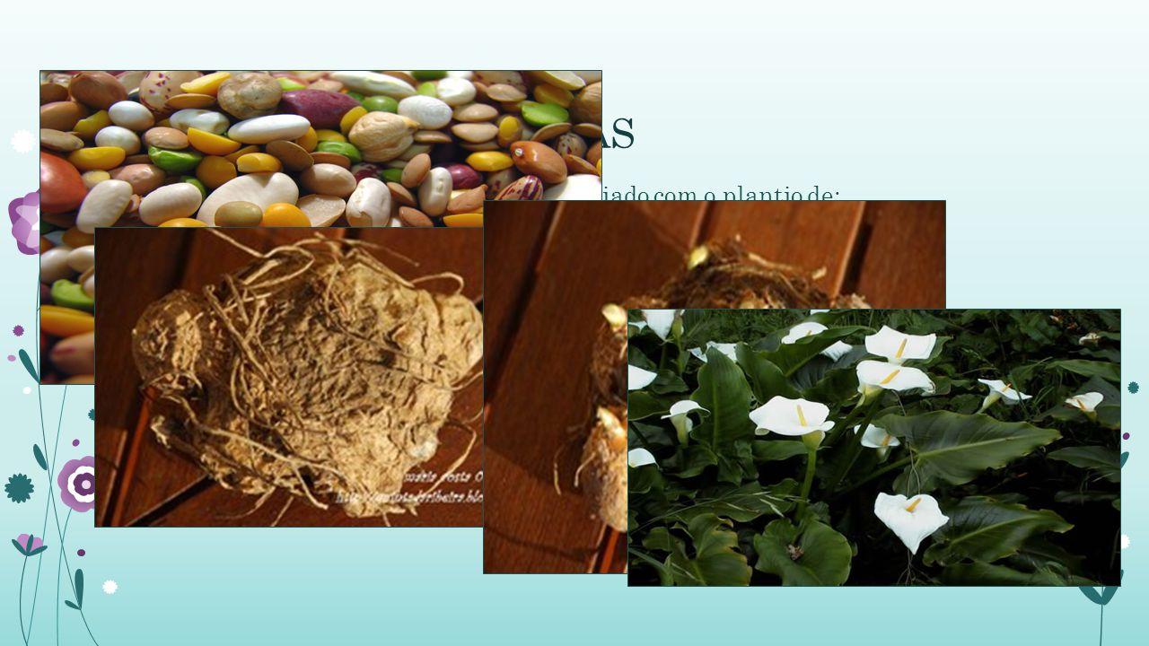 AQUISIÇÃO DE MUDAS O cultivo de copo-de-leite pode ser iniciado com o plantio de: