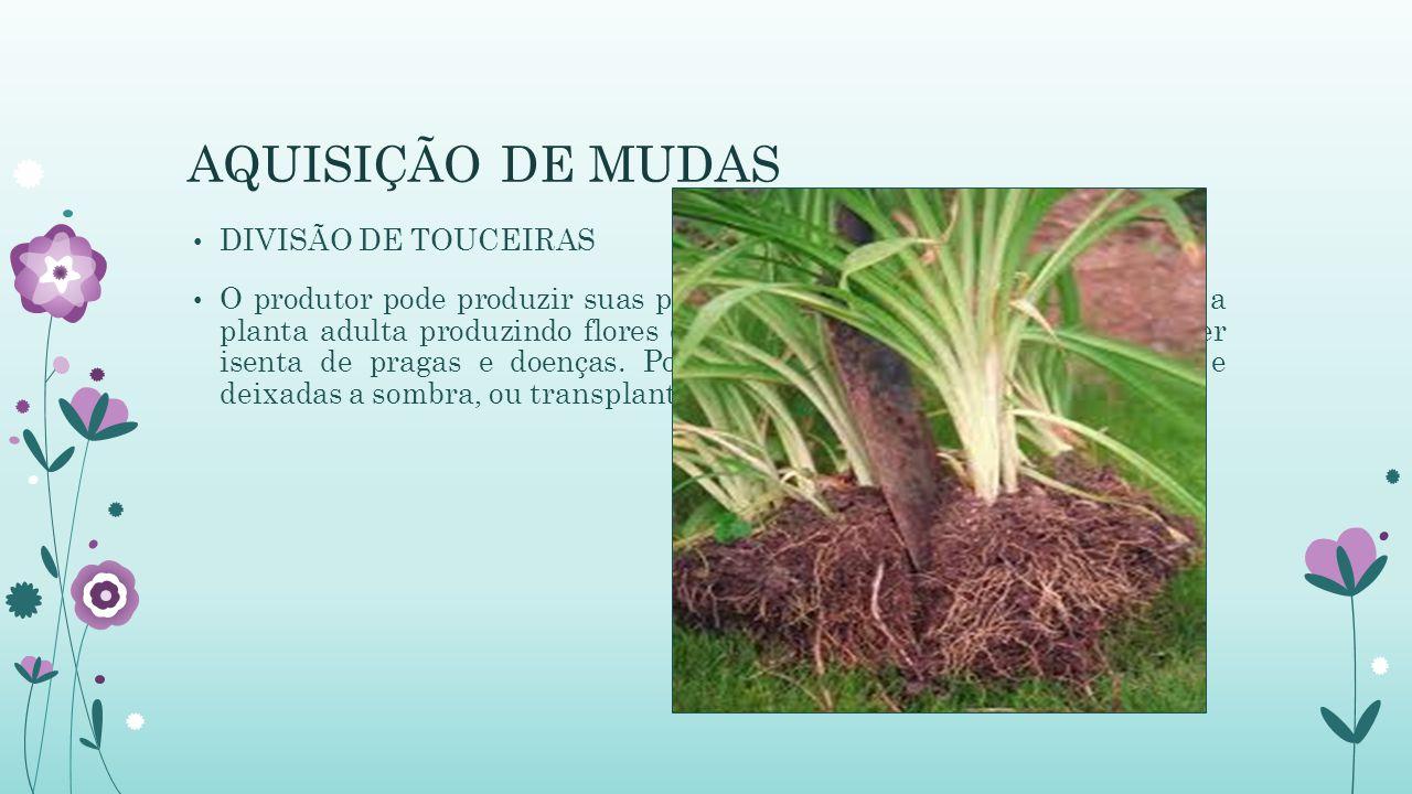 AQUISIÇÃO DE MUDAS DIVISÃO DE TOUCEIRAS