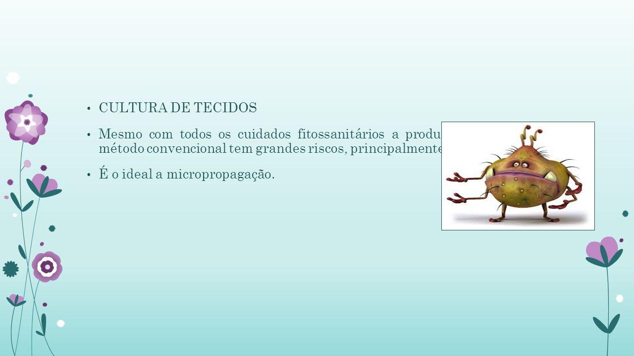 CULTURA DE TECIDOS Mesmo com todos os cuidados fitossanitários a produção de mudas no método convencional tem grandes riscos, principalmente: