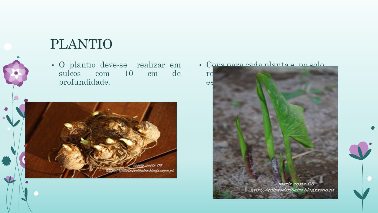 PLANTIO O plantio deve-se realizar em sulcos com 10 cm de profundidade.