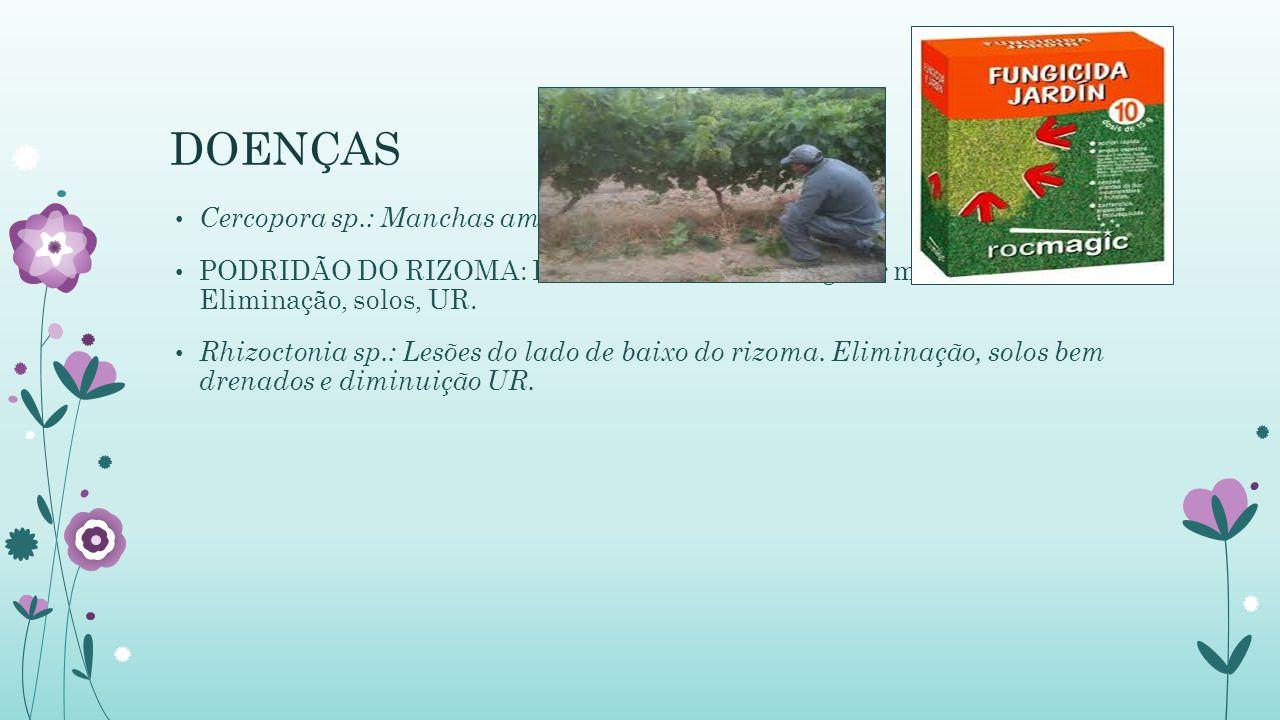 DOENÇAS Cercopora sp.: Manchas amareladas. Retirada das: