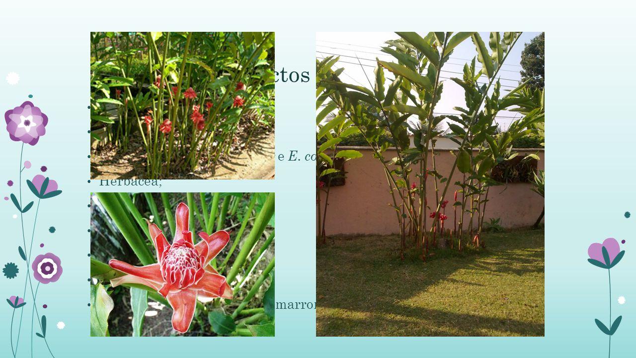 Aspectos Botânicos Origem Asiática; Família: Zingiberacea;