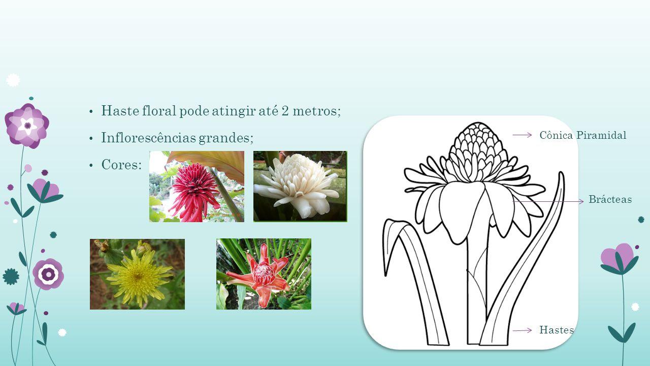 Haste floral pode atingir até 2 metros; Inflorescências grandes;