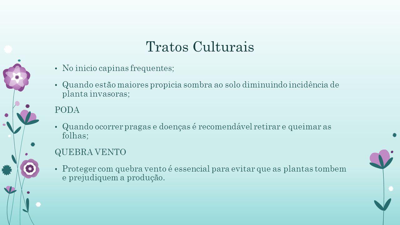 Tratos Culturais No inicio capinas frequentes;
