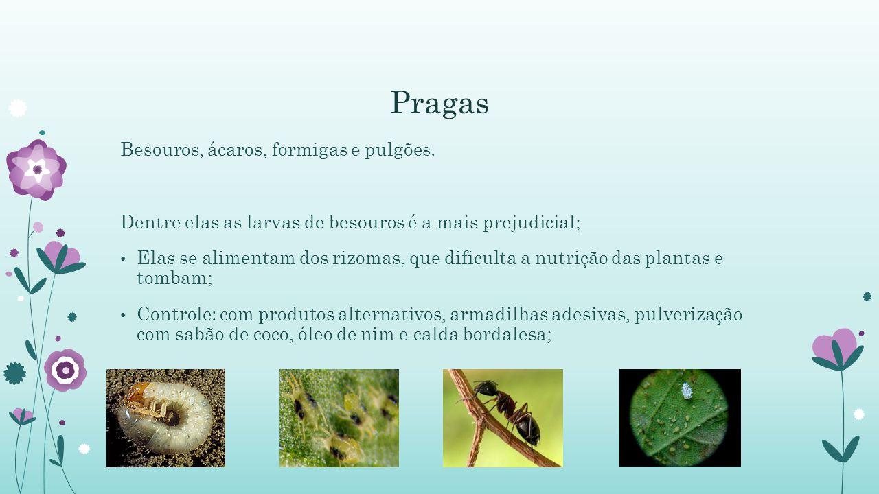 Pragas Besouros, ácaros, formigas e pulgões.