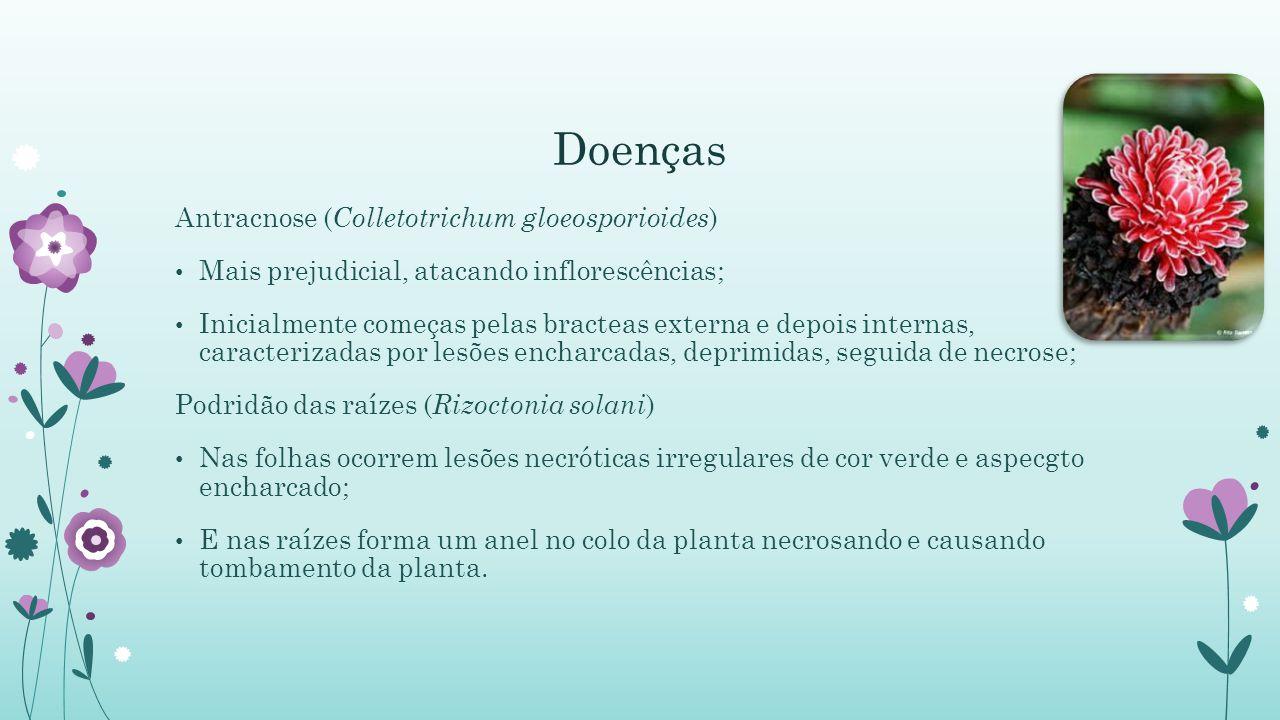 Doenças Antracnose (Colletotrichum gloeosporioides)