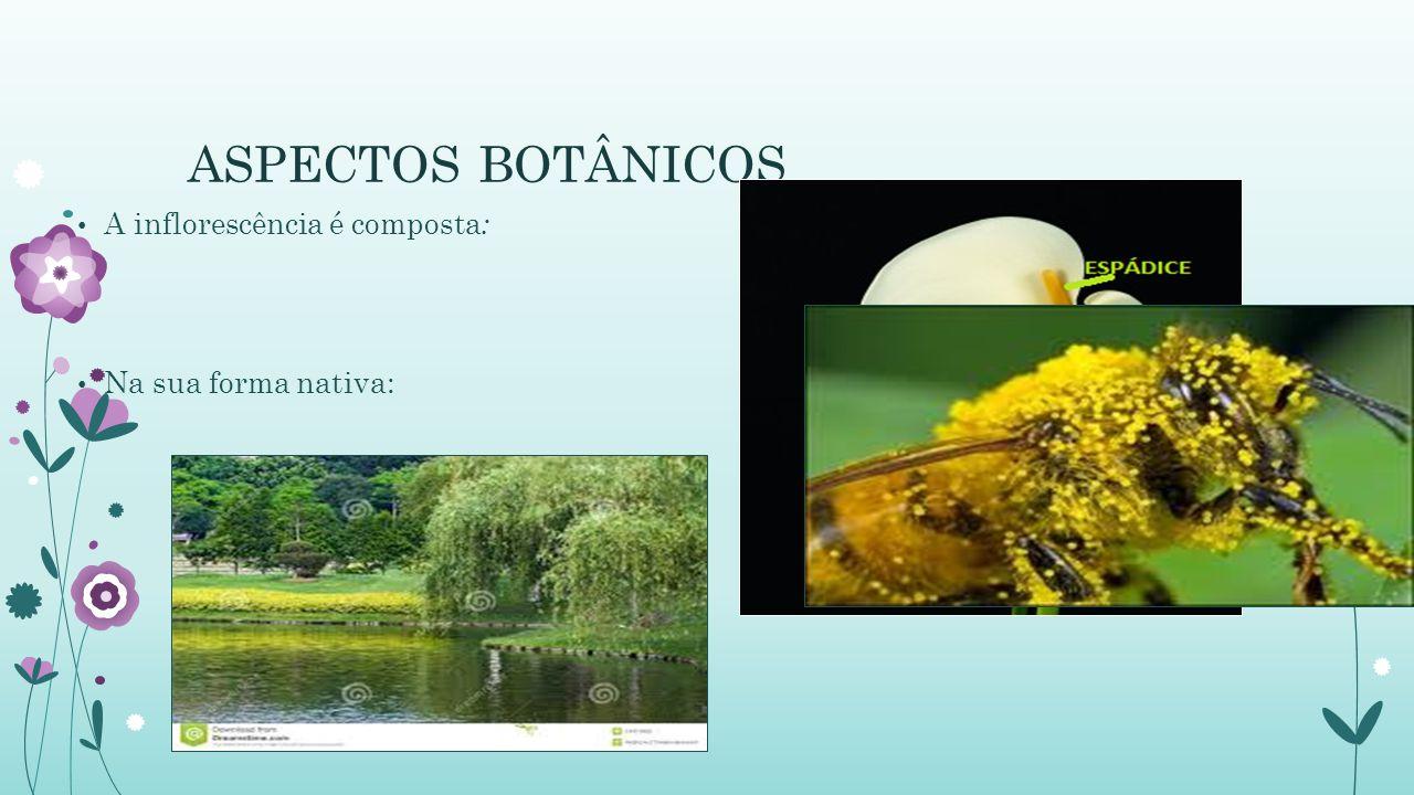ASPECTOS BOTÂNICOS A inflorescência é composta: Na sua forma nativa: