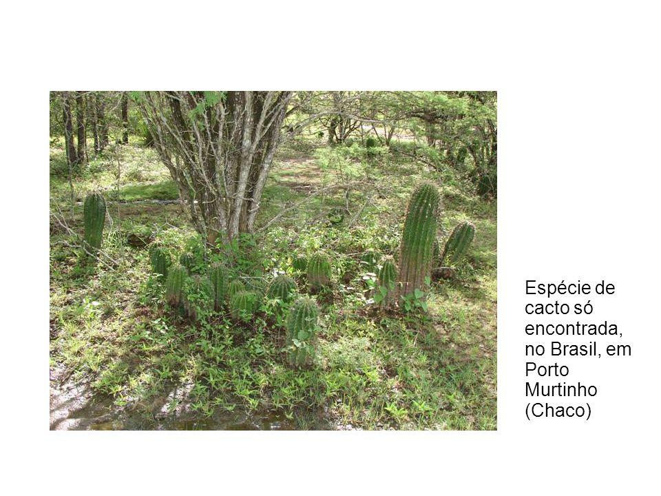 Espécie de cacto só encontrada, no Brasil, em Porto Murtinho (Chaco)