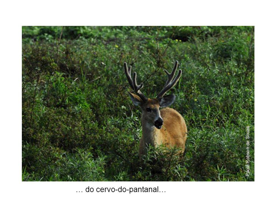 … do cervo-do-pantanal…