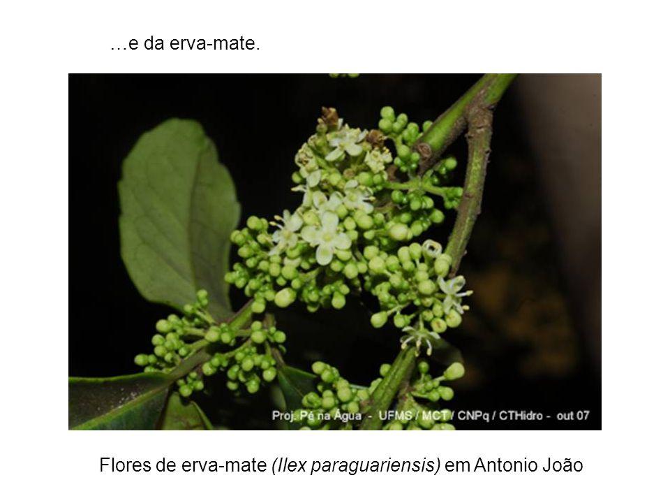 …e da erva-mate. Flores de erva-mate (Ilex paraguariensis) em Antonio João