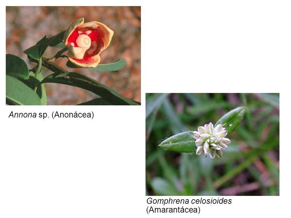 Annona sp. (Anonácea) Gomphrena celosioides (Amarantácea)
