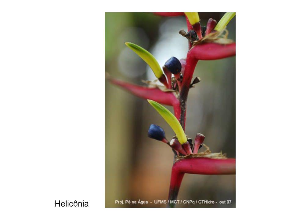 Helicônia