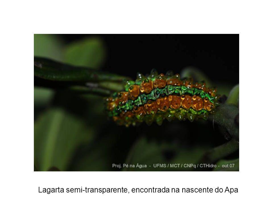 Lagarta semi-transparente, encontrada na nascente do Apa