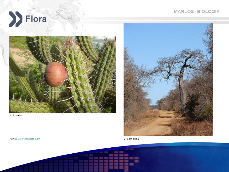 Flora 1- Juazeiro Fonte: www.nordeste.com 2- Barriguda