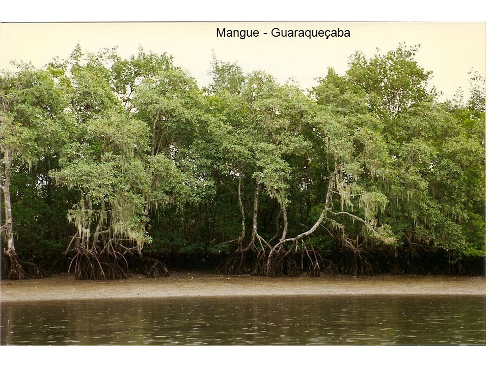 Mangue - Guaraqueçaba