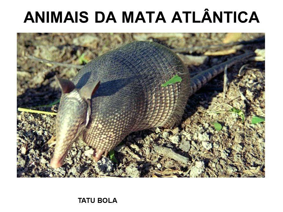 ANIMAIS DA MATA ATLÂNTICA