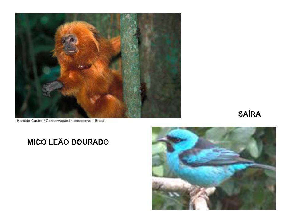 SAÍRA MICO LEÃO DOURADO