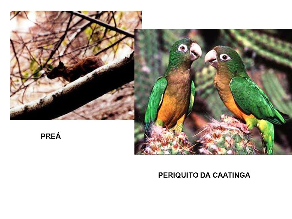 PREÁ PERIQUITO DA CAATINGA