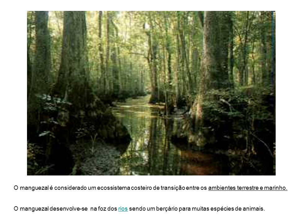 O manguezal é considerado um ecossistema costeiro de transição entre os ambientes terrestre e marinho.