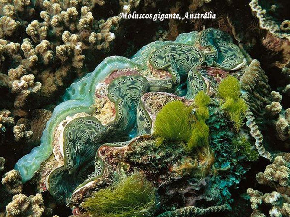 Moluscos gigante, Austrália