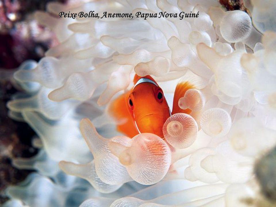Peixe Bolha, Anemone, Papua Nova Guiné