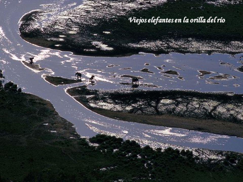 Viejos elefantes en la orilla del río