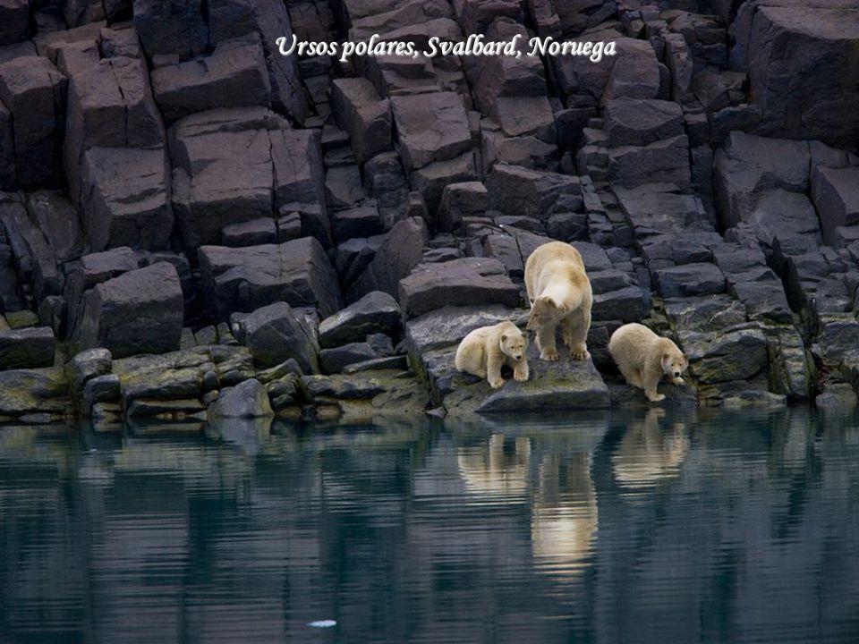 Ursos polares, Svalbard, Noruega