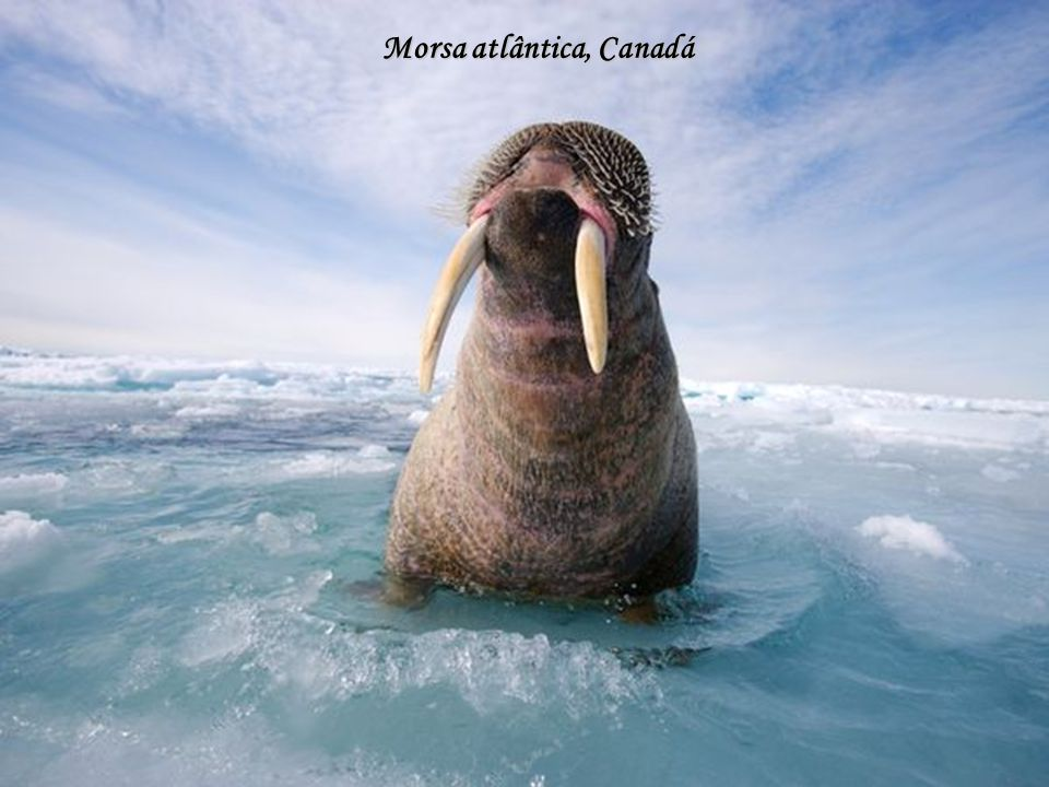 Morsa atlântica, Canadá