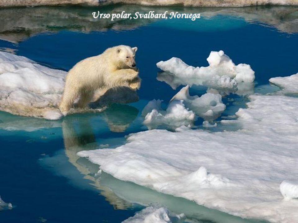 Urso polar, Svalbard, Noruega