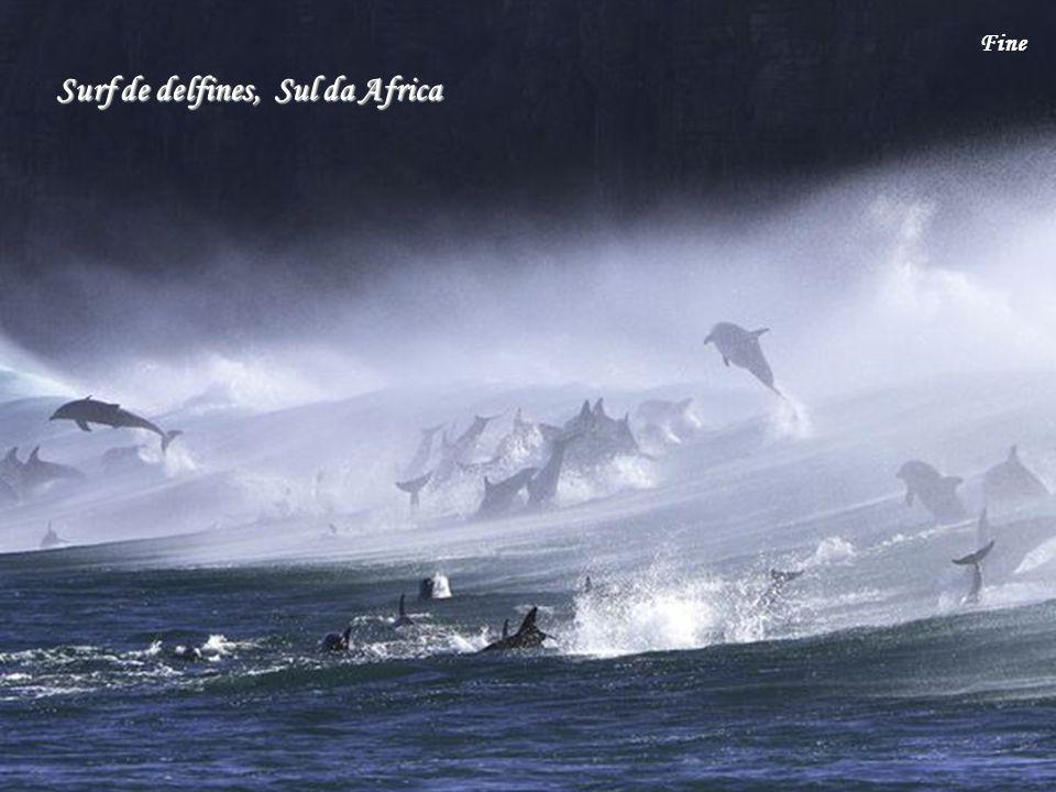 Surf de delfines, Sul da Africa