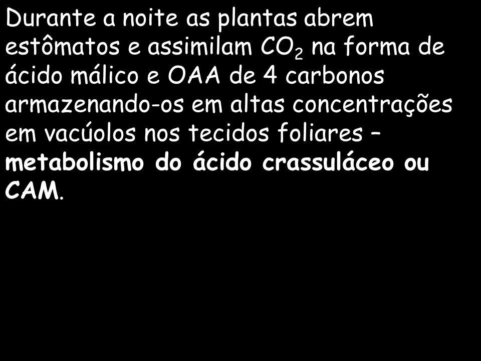 Durante a noite as plantas abrem estômatos e assimilam CO2 na forma de ácido málico e OAA de 4 carbonos armazenando-os em altas concentrações em vacúolos nos tecidos foliares – metabolismo do ácido crassuláceo ou CAM.
