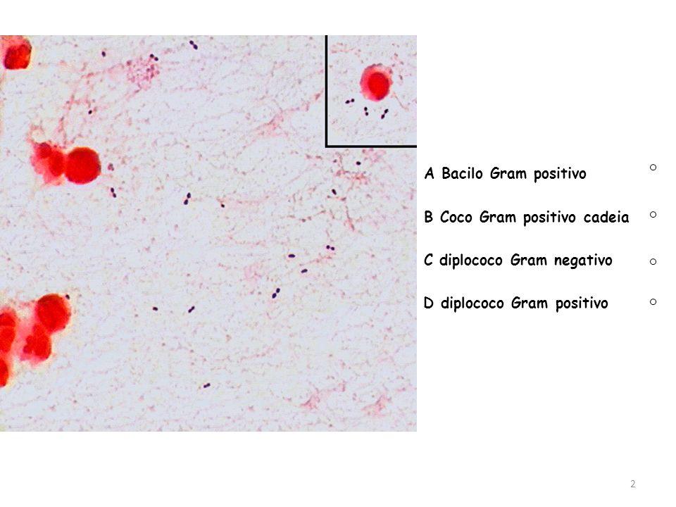 A Bacilo Gram positivo B Coco Gram positivo cadeia.