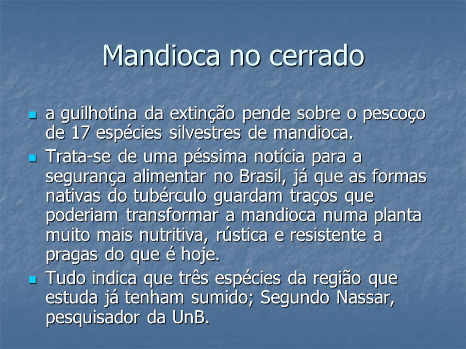 Mandioca no cerrado a guilhotina da extinção pende sobre o pescoço de 17 espécies silvestres de mandioca.