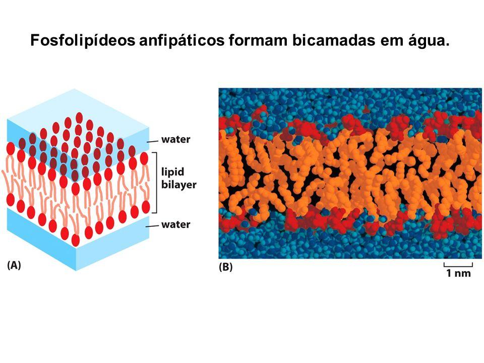 Fosfolipídeos anfipáticos formam bicamadas em água.