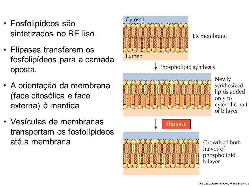 Fosfolipídeos são sintetizados no RE liso.