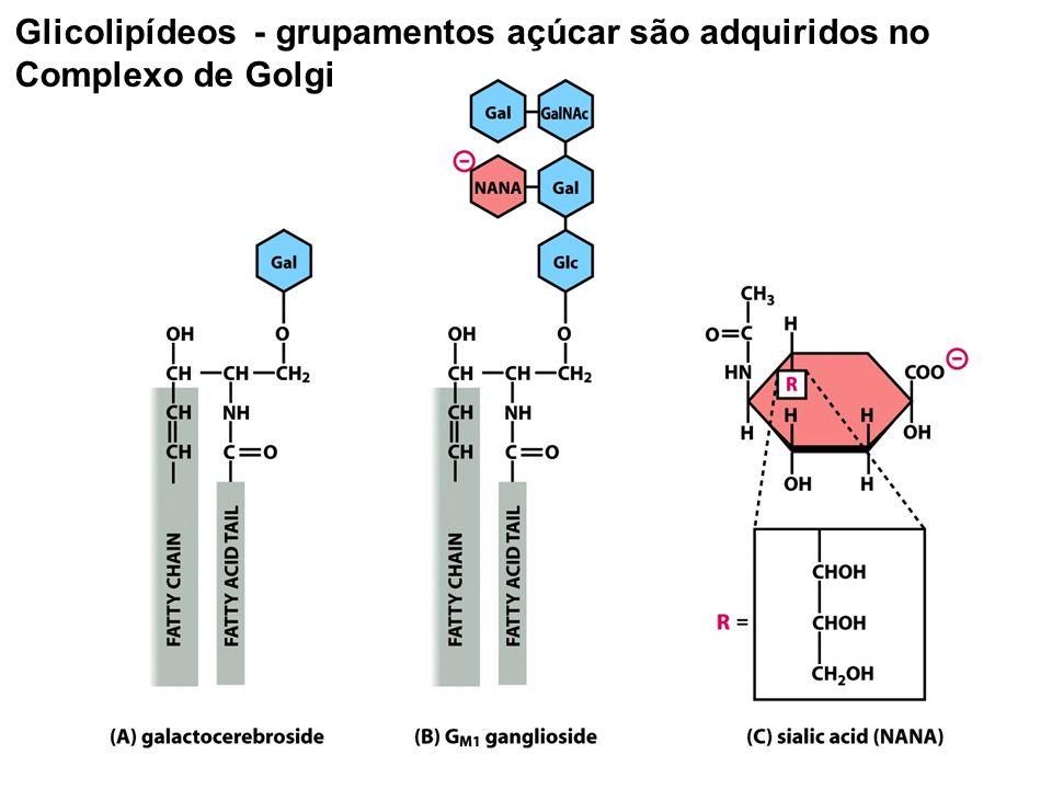 Glicolipídeos - grupamentos açúcar são adquiridos no Complexo de Golgi