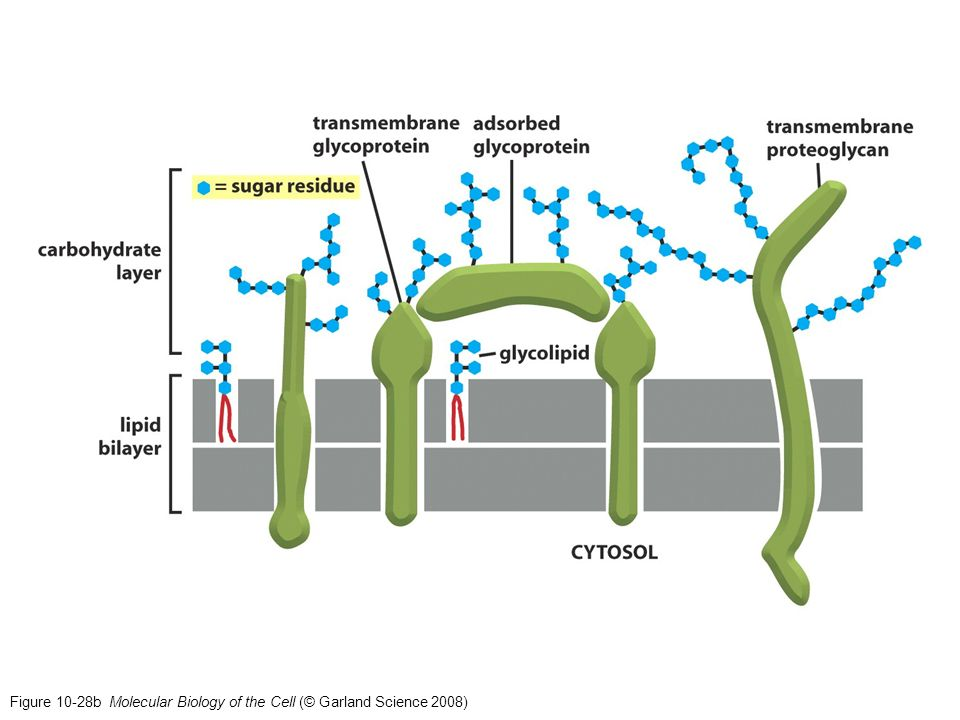 Figure 10-28b Molecular Biology of the Cell (© Garland Science 2008)